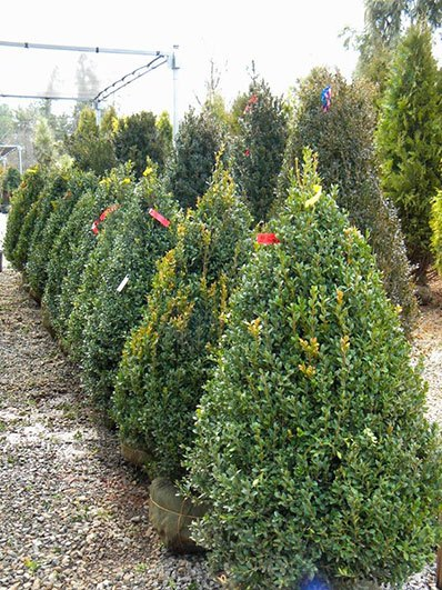 BUXUS GREEN MOUNTAIN CONE 48 INCH
